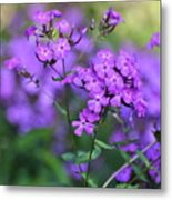 Purple Phlox Metal Print