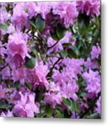 Purple Rhododendrons Metal Print
