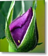 Purple Rose Bud Metal Print