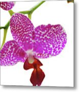 Purple Spotted Orchid On White Metal Print