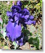 Purple Springtime Iris  Metal Print