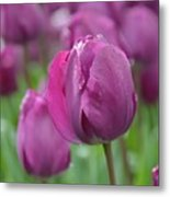 Purple Tulip With Water Drops Metal Print