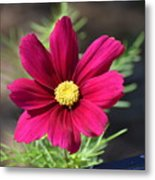 Purple Wood Aster  Metal Print