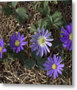 Purple Yard Flowers Metal Print