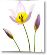 Purple Yellow Tulip 1 Metal Print