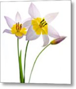 Purple Yellow Tulips 1 Metal Print