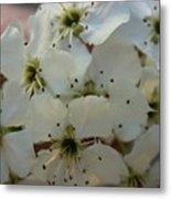 Purpleleaf Sand Cherry Blossoms Metal Print