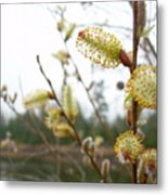 Pussy Willow Blossoms Metal Print