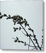 Pussy Willow Catkins Metal Print