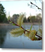 Pussy Willow Flowers Metal Print