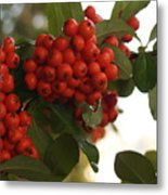 Pyracantha Berries In December Metal Print