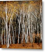 Quabbin Birches Metal Print