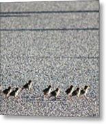 Quail Lines Metal Print