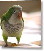Quaker Parrot Metal Print by Mark Platt