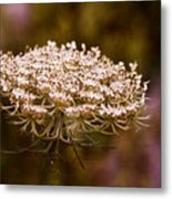 Queen Anne's Lace 4 Metal Print