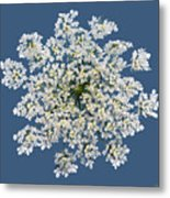 Queen Anne's Lace Flower Metal Print