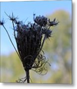Queen Annes Lace In Autumn Metal Print