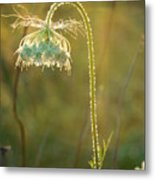 Queen Anne's Lace In Evening Metal Print