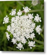Queen Anne's Lace No 2 Metal Print