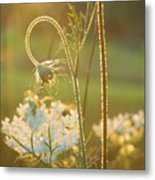 Queen Anne's Lace Sunset Metal Print