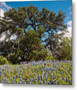 Quintessential Texas Hill Country County Road Bluebonnets And Oak - Llano Metal Print