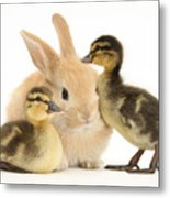Rabbit And Ducklings Metal Print