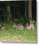 Raccoon Family Metal Print