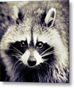 Raccoon Looking At Camera Metal Print