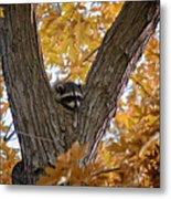 Raccoon Nape Metal Print
