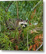 Raccoon Napping On Log Metal Print