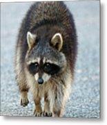 Raccoon On The Prowl Metal Print