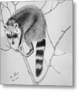 Raccoon Treed  Metal Print
