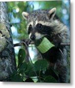 Raccoon--up We Go Metal Print