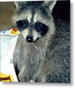 Raccoon1 Snack Bandit Metal Print