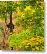 Racoon In Fall Trees Metal Print