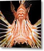 radial Lionfish Pterois radiata Metal Print