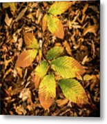 Radiant Beech Leaf Branches Metal Print