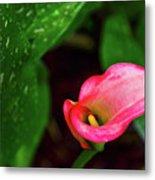 Rain Coated Pink Calla Lily Metal Print