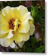 Rain Coated Yellow Rose Metal Print