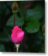 Rain Covered Pink Rose And Buds Metal Print
