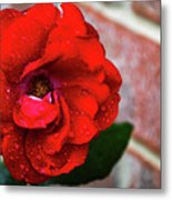 Rain Covered Red Rose Metal Print