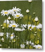 Rain Drops On Daisies Metal Print