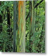 Rainbow Eucalyptus Metal Print