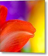 Rainbow Tip Red Amaryllis Petal Tip On A Rainbow Background Metal Print