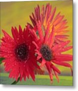 Raindrops On Gerbera Metal Print