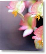 Raindrops On Rare Begoinia Blooms In Macro Metal Print