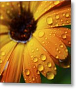 Rainy Day Daisy Metal Print by Thomas R Fletcher