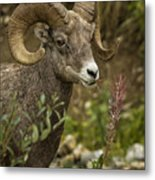 Ram Eating Fireweed Cropped Metal Print