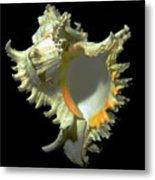 Rams Horn Seashell Murex Ramosus Metal Print