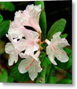 Rare Florida Beauty - Chapmans Rhododendron Metal Print